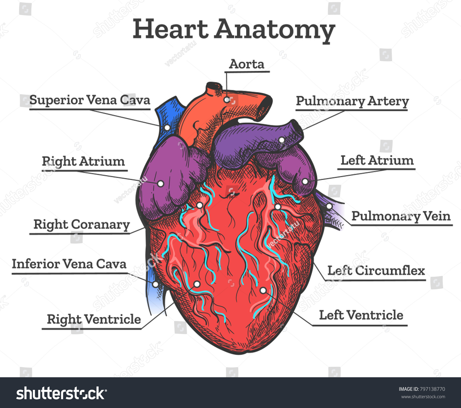 Heart anatomy colored sketch anatomic human stock vector royalty heart anatomy colored sketch anatomic human cardiac muscle diagram vector illustration ccuart Images