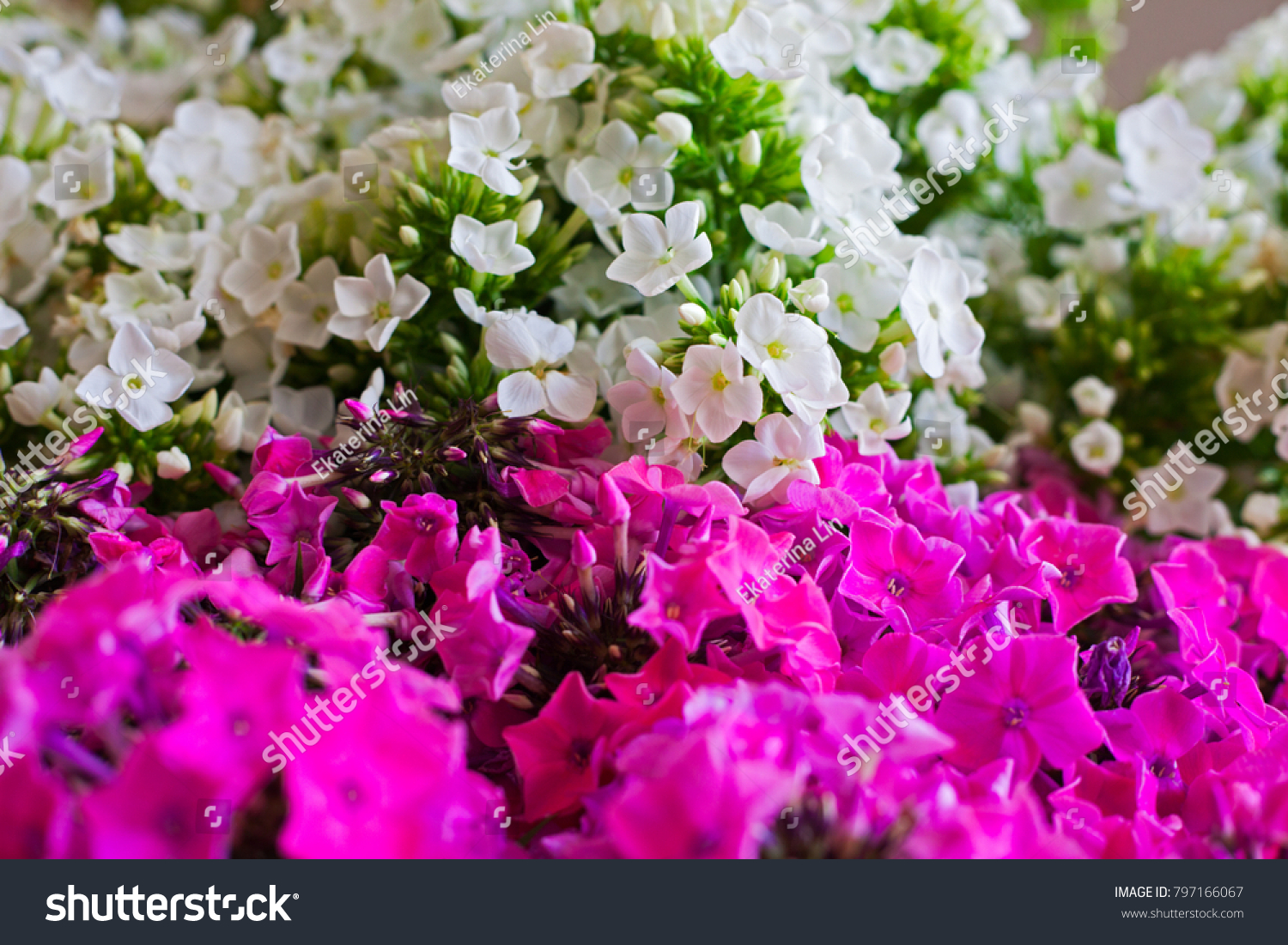 Pink White Hydrangea Flower Hydrangea Common Stock Photo Image