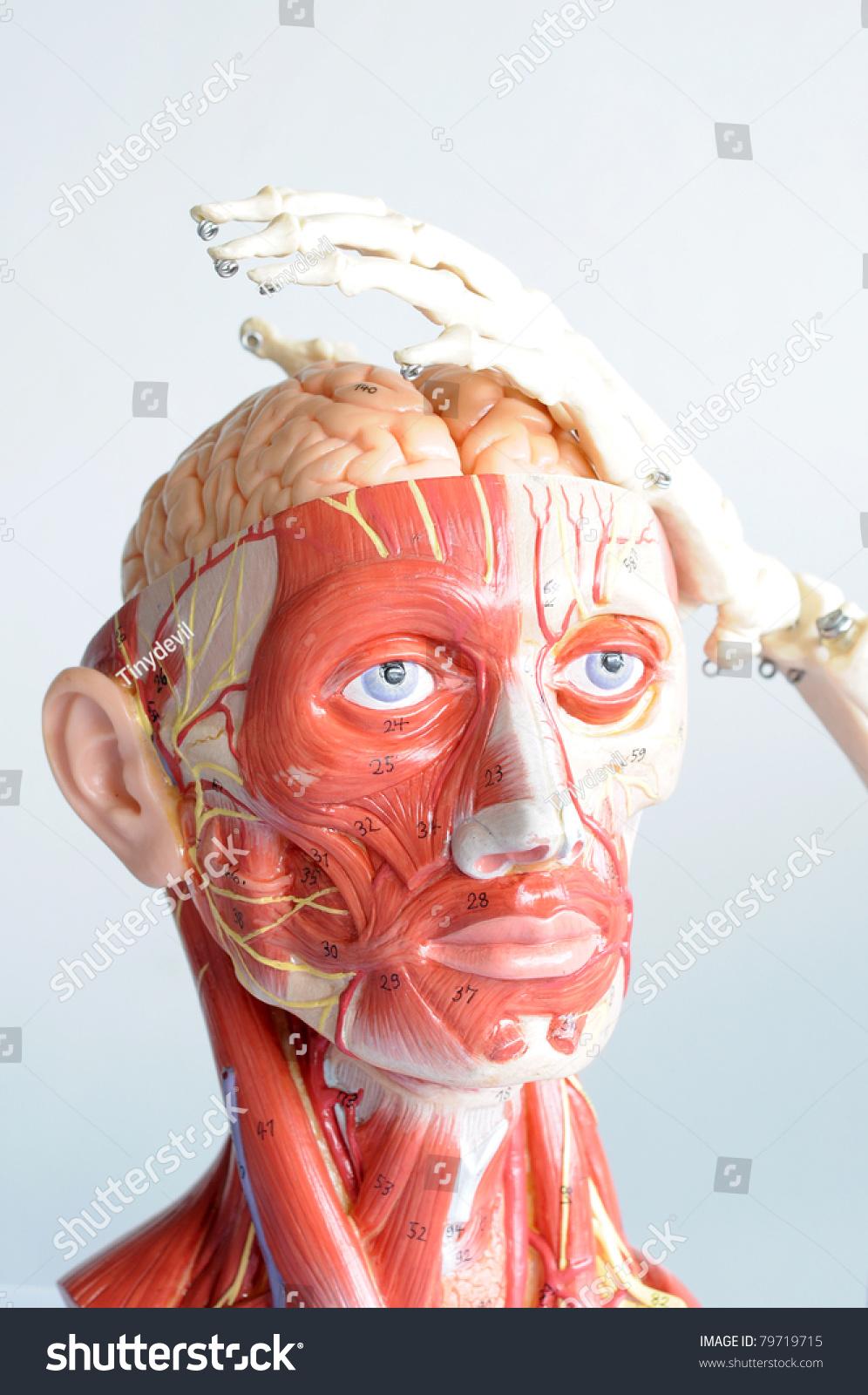 Head Anatomy Hand Bone Stock Photo & Image (Royalty-Free) 79719715 ...