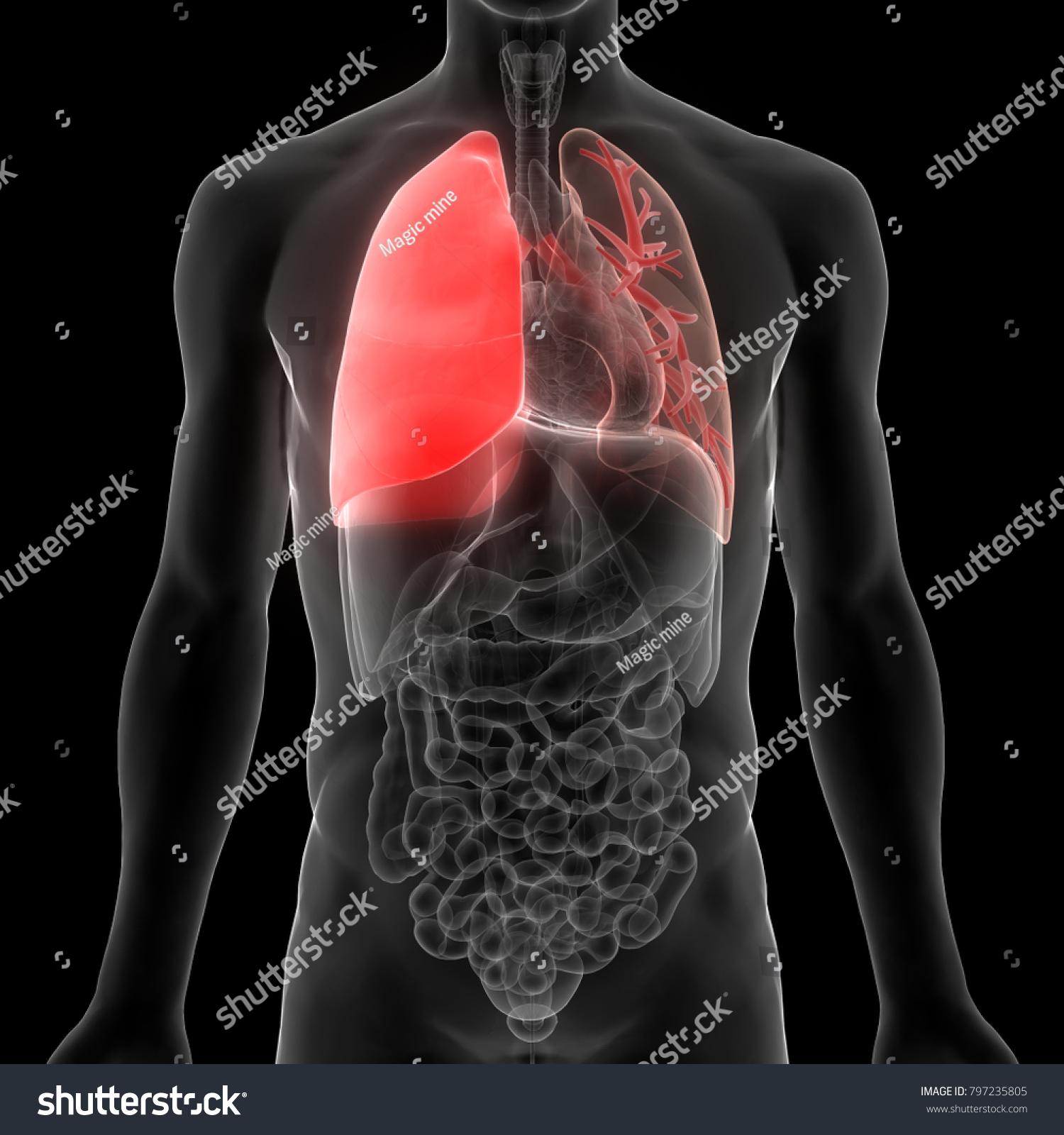 Human Lungs Inside Anatomy 3 D Stock Illustration 797235805 ...
