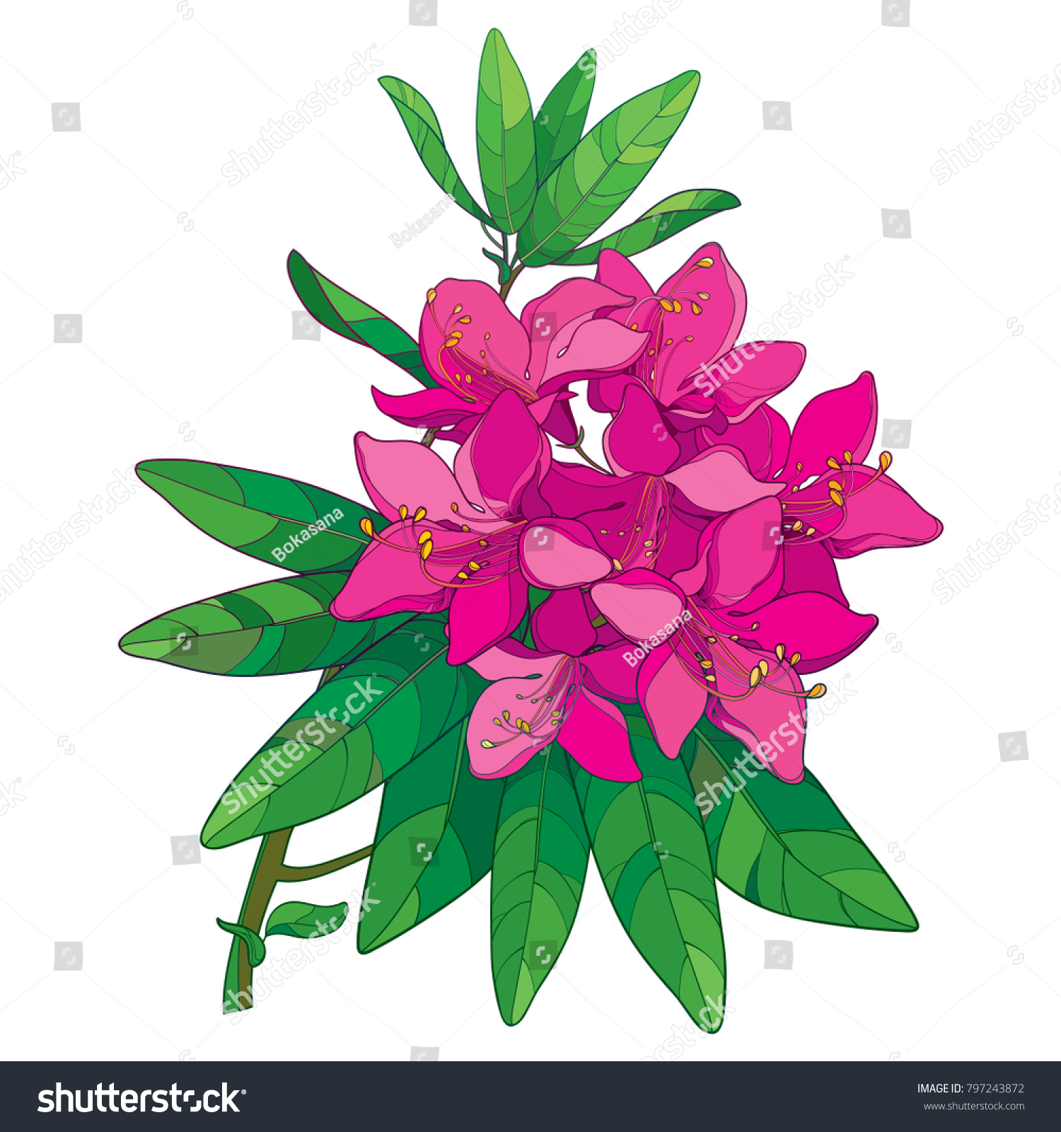 Vector Branch With Outline Pink Rhododendron Or Alpine Rose Flower