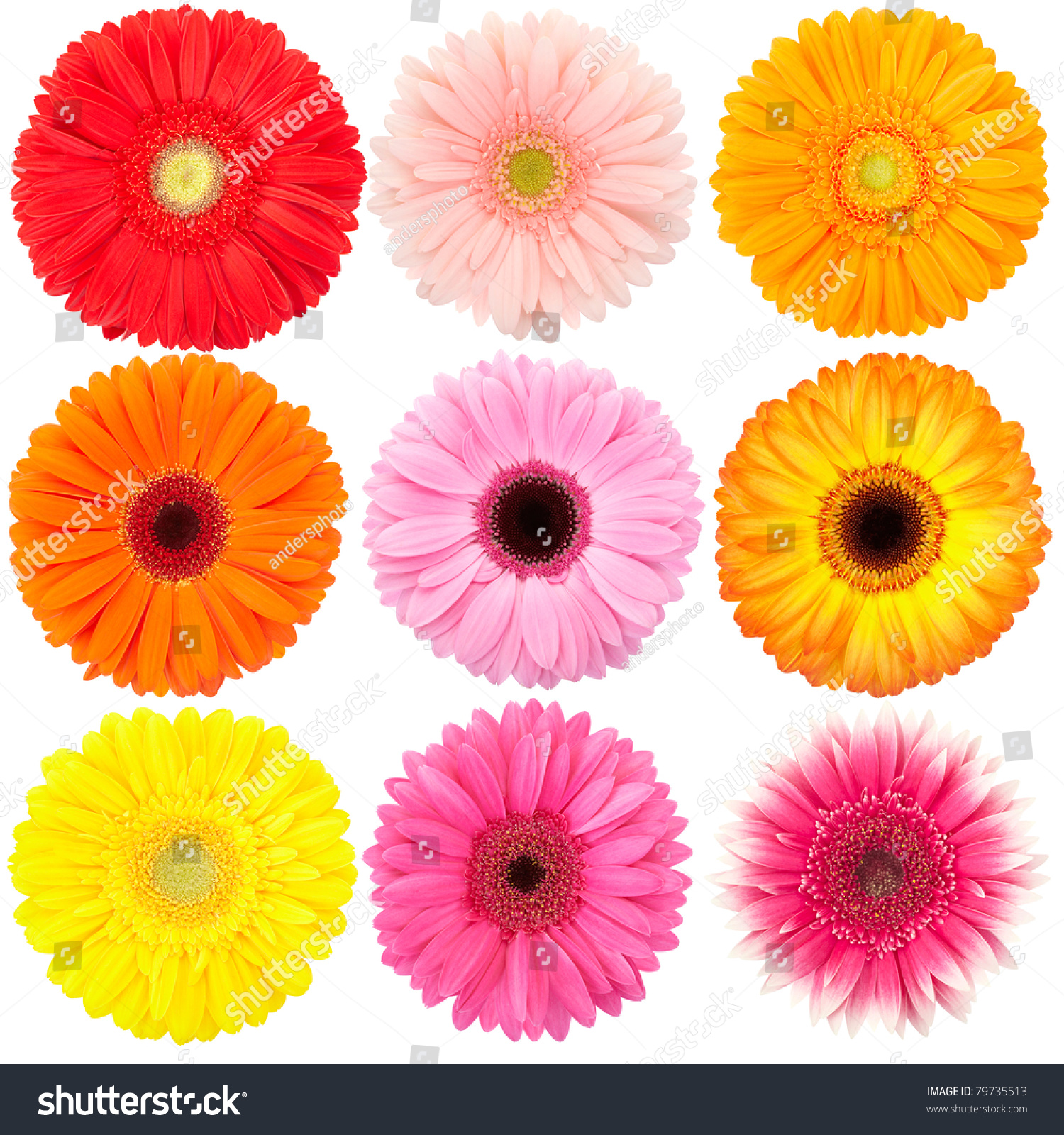 Flower Gerber Daisy Collection Isolated On Stock Photo 79735513 ...
