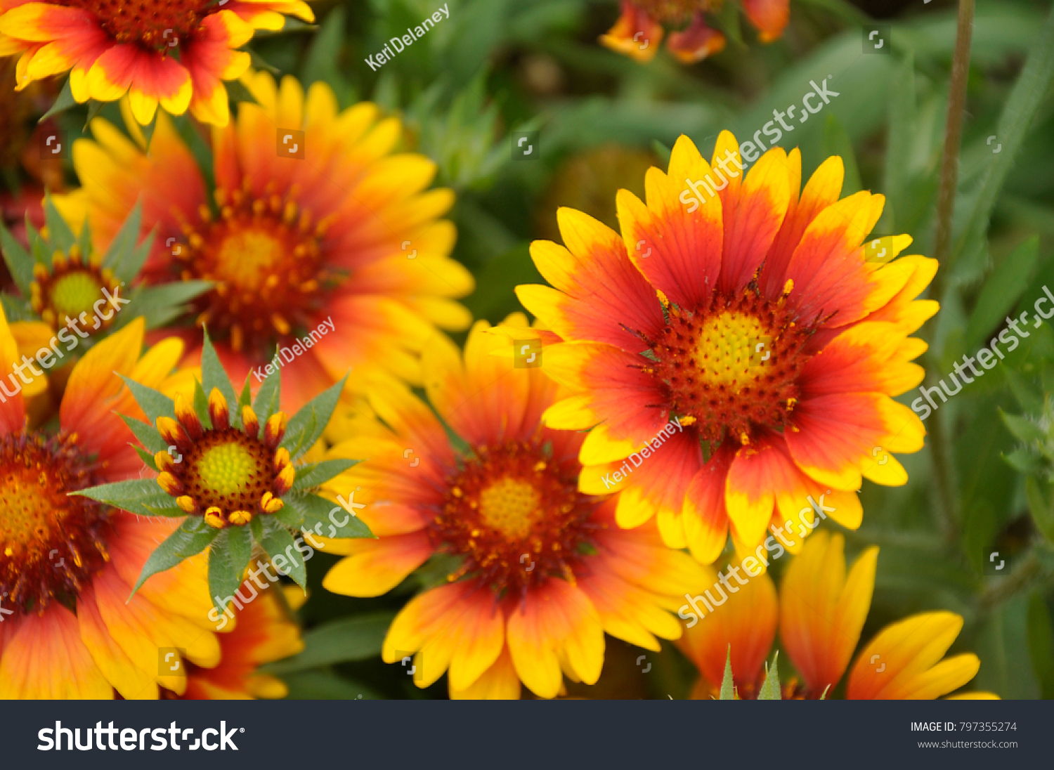 Blanket Flowers Colorful Perennial Shades Yellow Stock Photo Edit