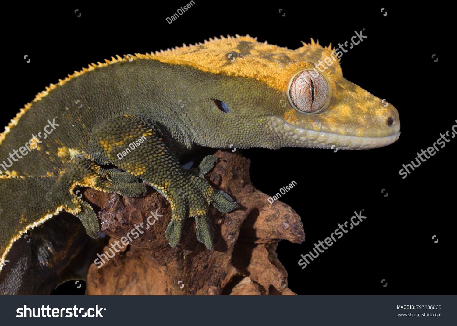 Cute Crested Gecko Called Eyelash Gecko Stock Photo Edit Now