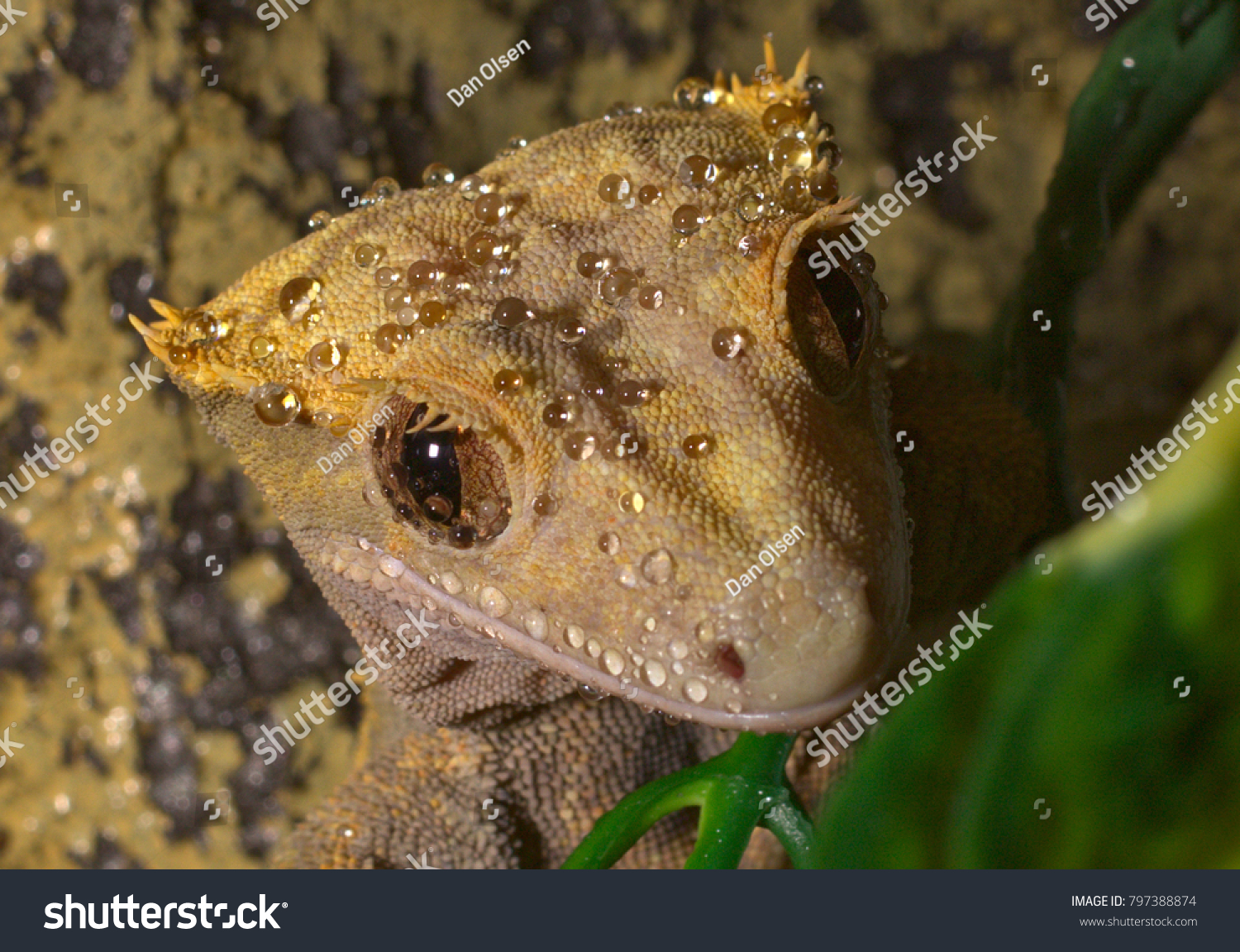 Cute Crested Gecko Also Called Eyelash Gecko Correlophus Ciliatus