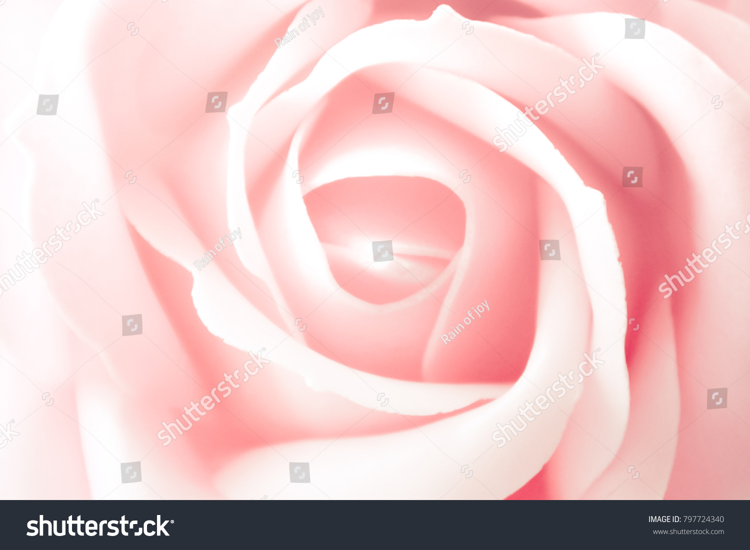 Pink Rose Meaning Lovely Romance Stock Photo Edit Now 797724340