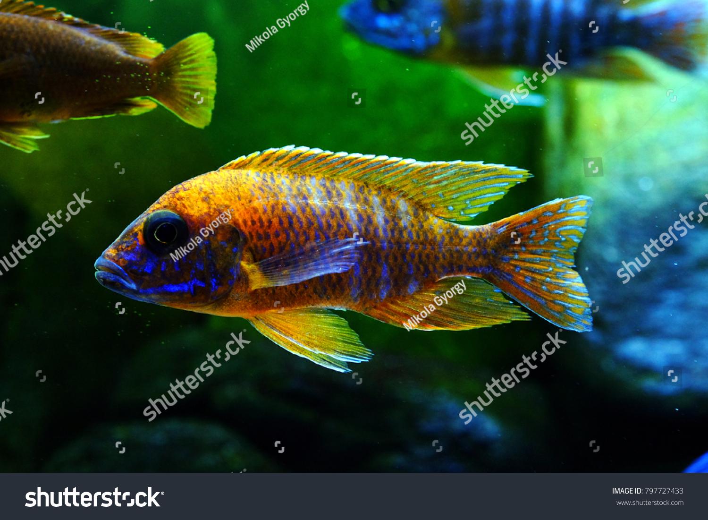 Malawi Cichlid Fish Colorful Brillant Aquarium Stock Photo (Royalty ...