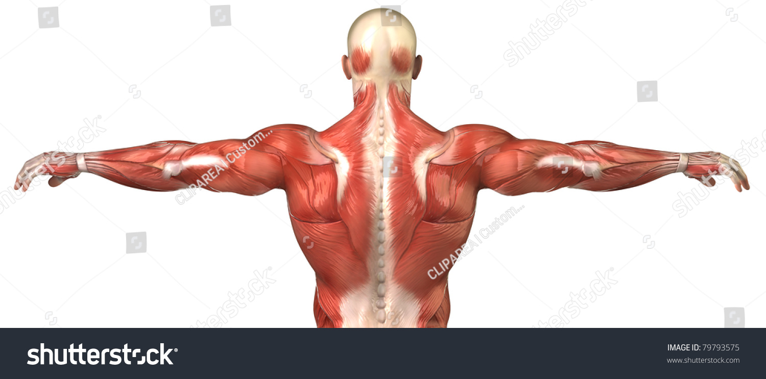 male back anatomy muscular system posterior stock illustration, Muscles