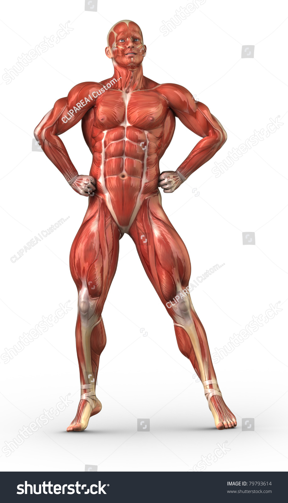 male anatomy muscular system bodybuilder position stock, Muscles