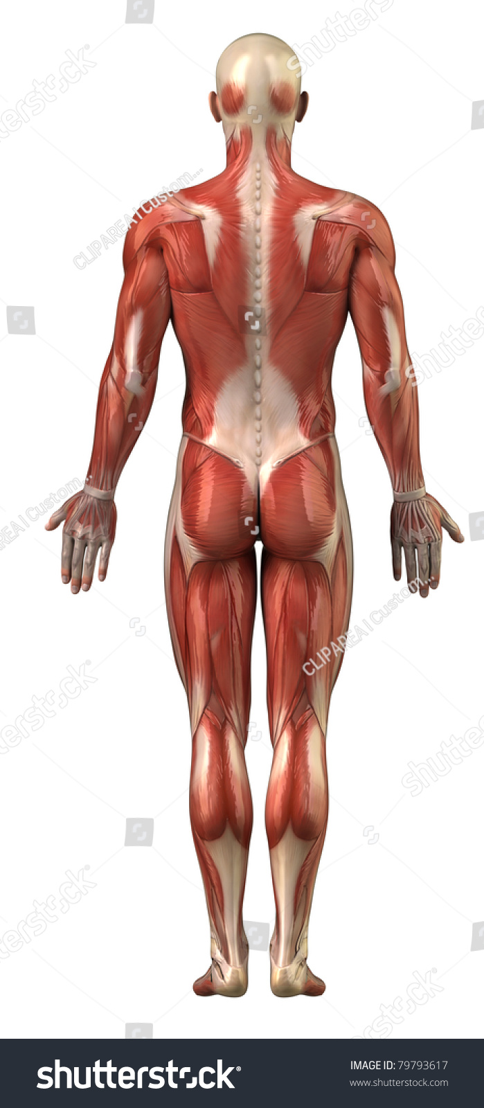 Pictures of male anatomy