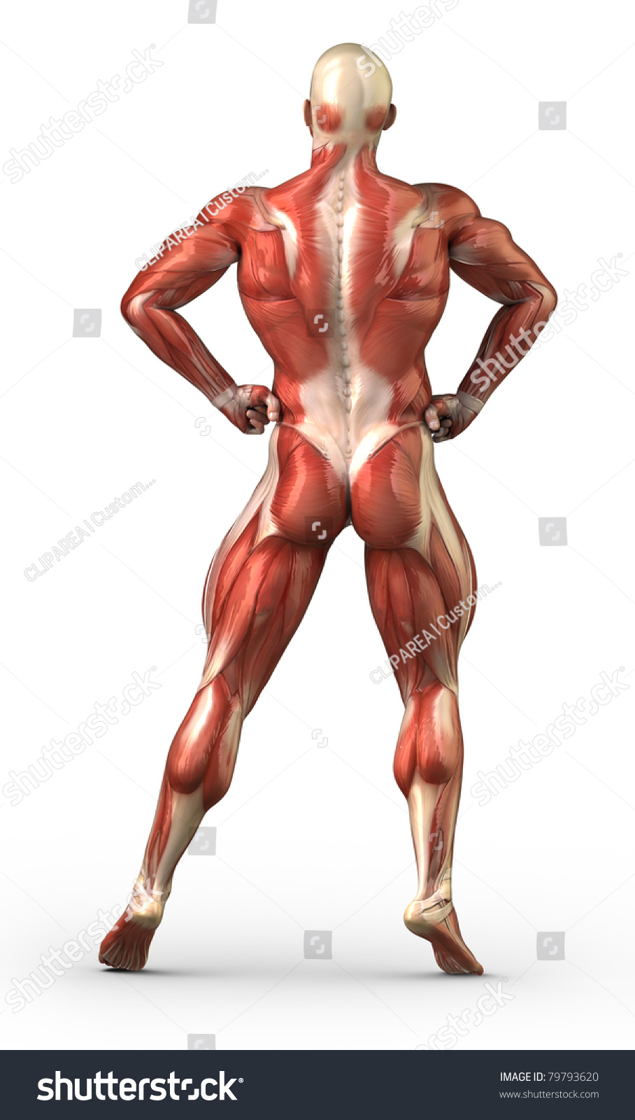 Male Back Anatomy Muscular System Bodybuilder Stock Illustration ...
