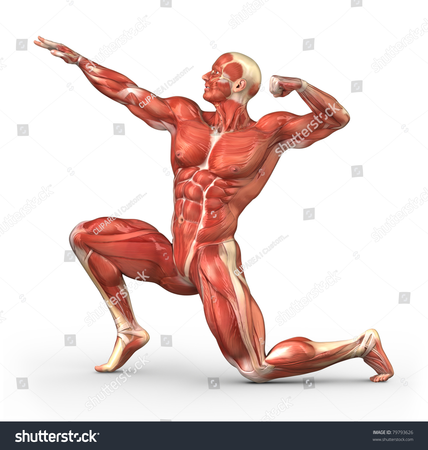 Male Muscular System Bodybuilder Position Stock Illustration