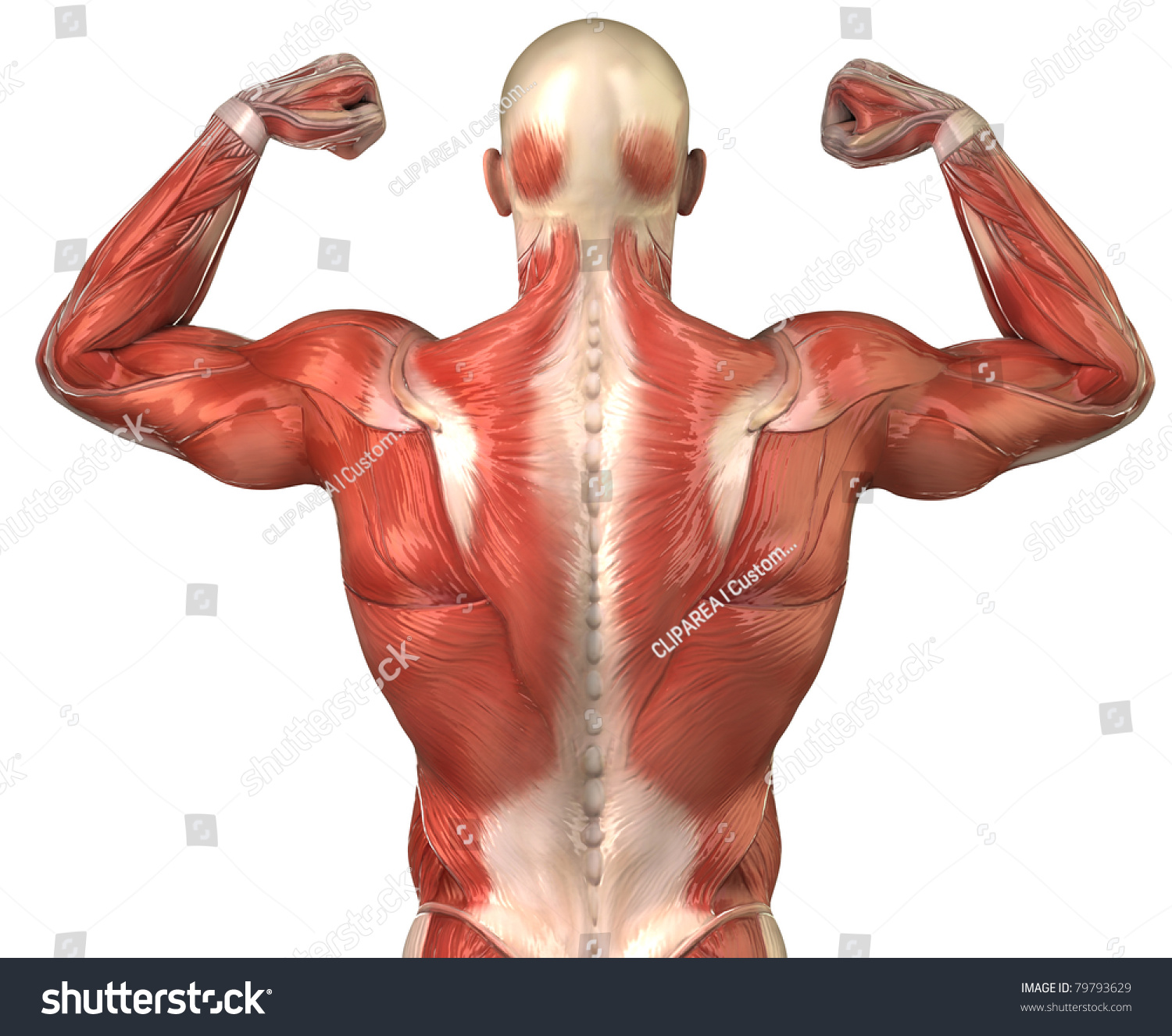 man muscles anatomy bodybuilder pose posterior stock illustration, Muscles