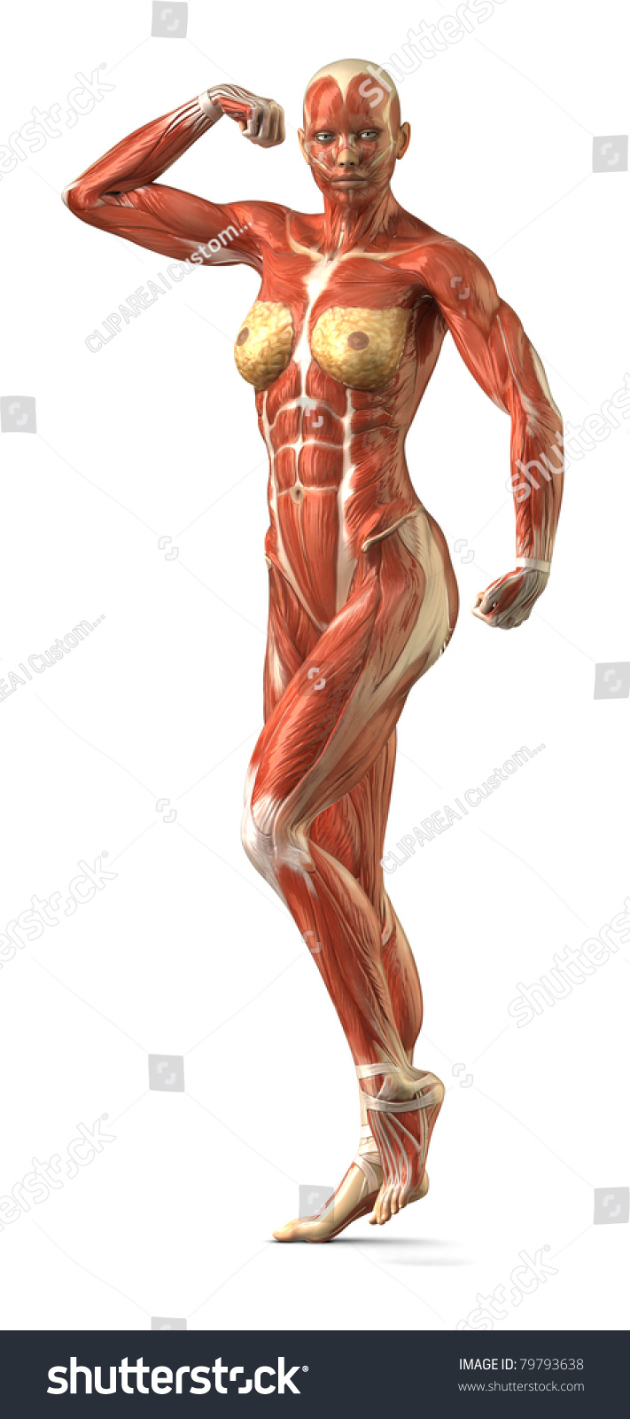 female muscular system bodybuilder position stock illustration, Muscles