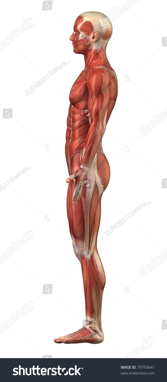 Anatomy Man Muscular System Lateral View Stock Illustration 79793641