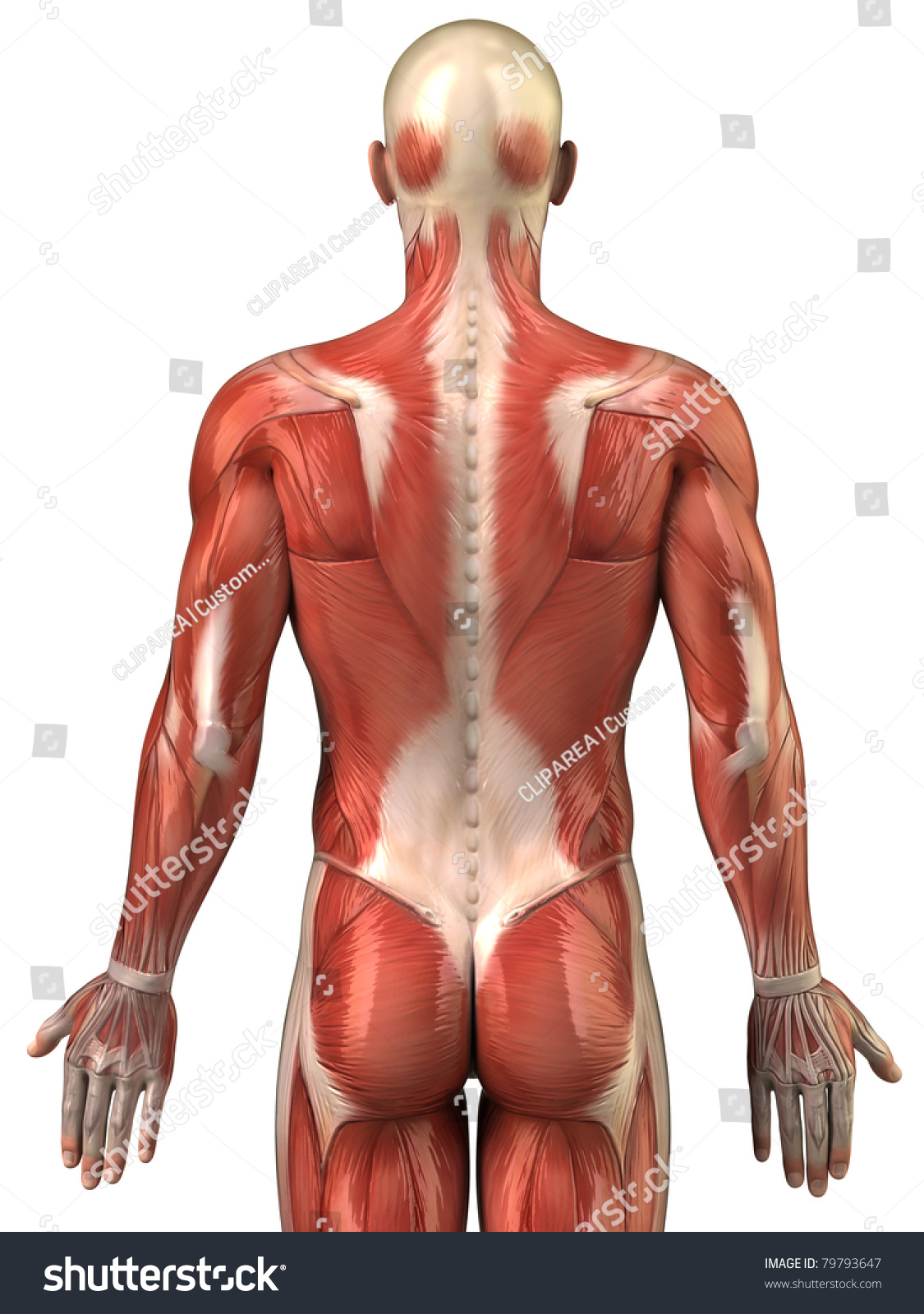 Anatomy Male Muscular System Posterior View Stock Illustration ...