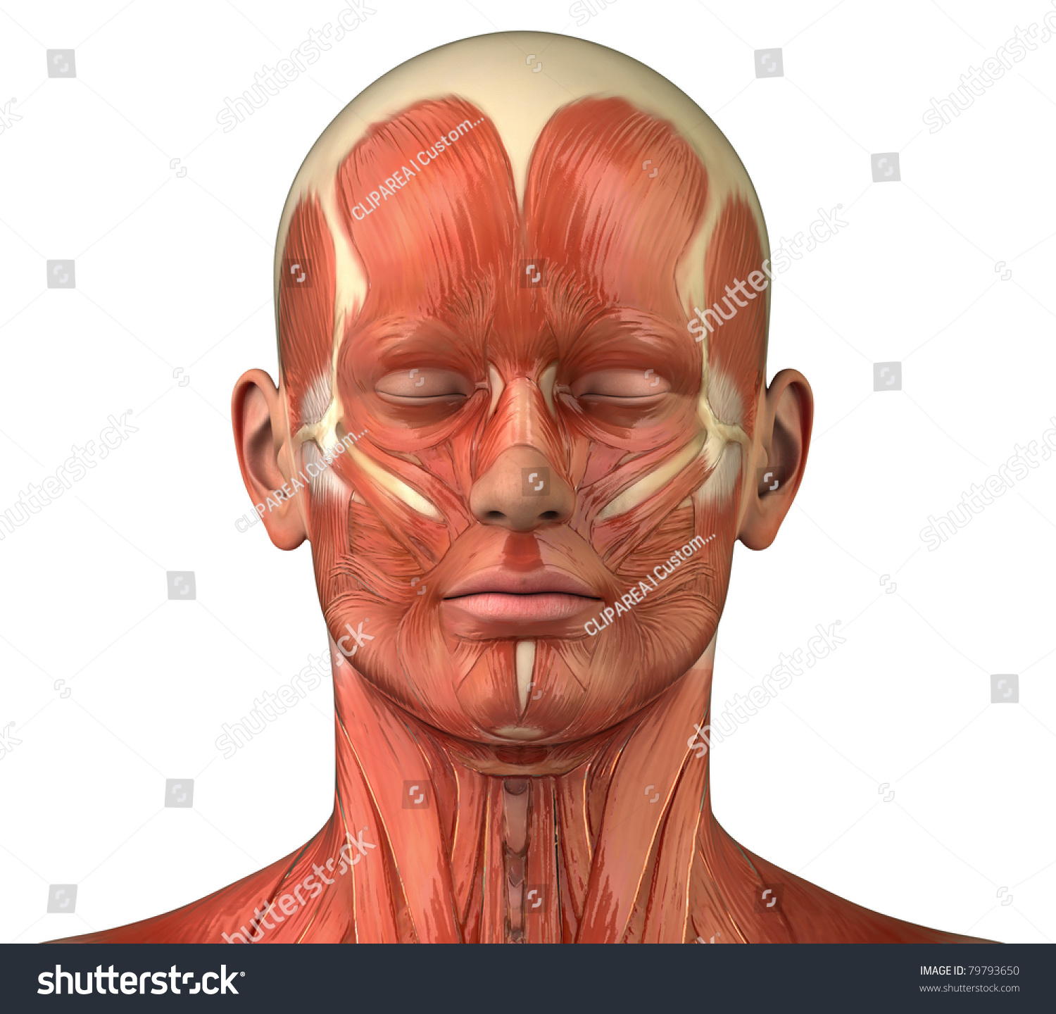 Male Head Muscular System Anatomy Frontal Stock Illustration