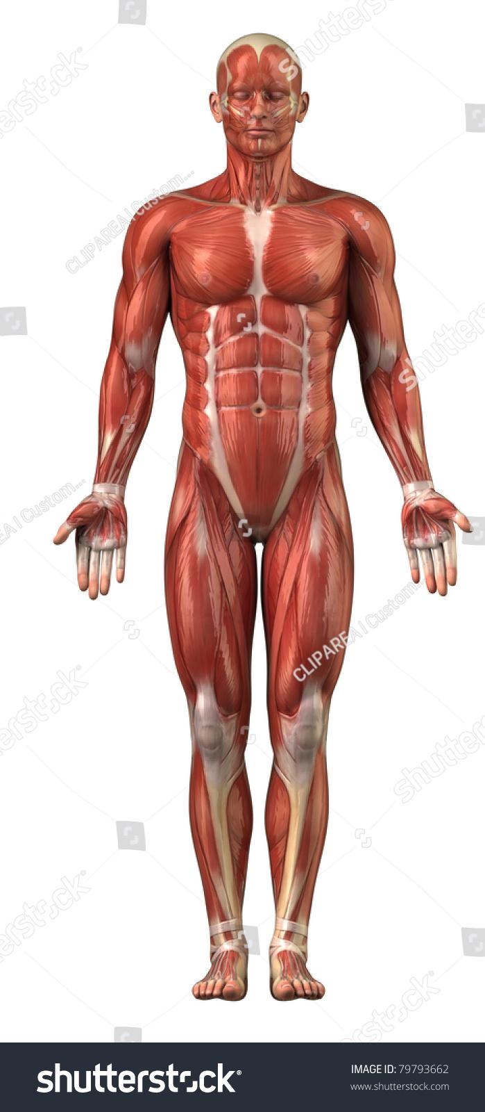 Anatomy Of Man Muscular System Upper Half Anterior View Ez Canvas