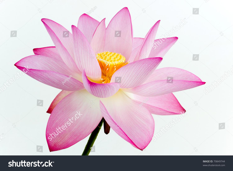 Pink Lotus Flower White Background Lotus Stock Photo Edit Now