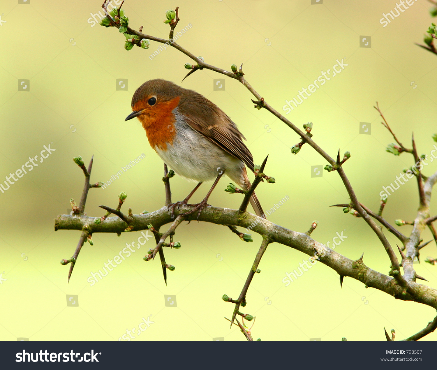 robin sitting on branch hawthron tree stock photo 798507