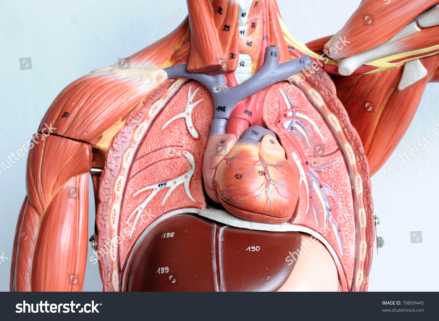 Chest Human Anatomy Stock Photo Royalty Free 79899445 Shutterstock