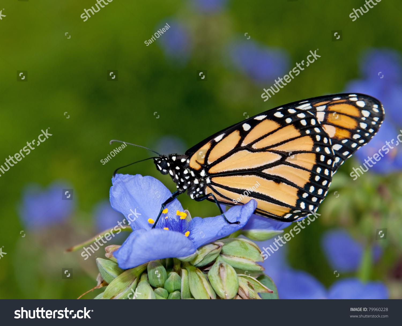 Monarch Butterfly On Blue Spiderwort Flower Stock Photo