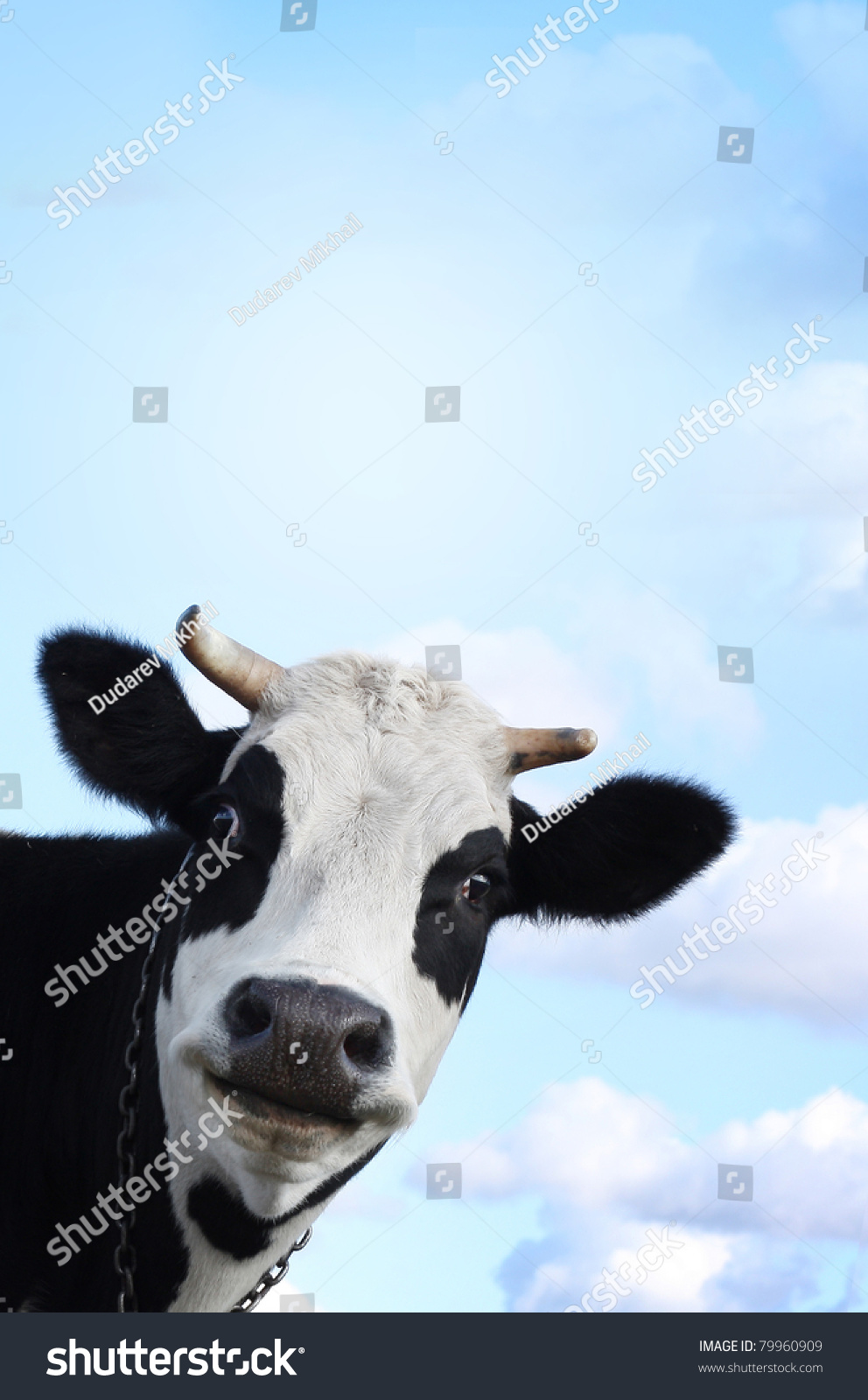 Funny cow smiling - photo#21