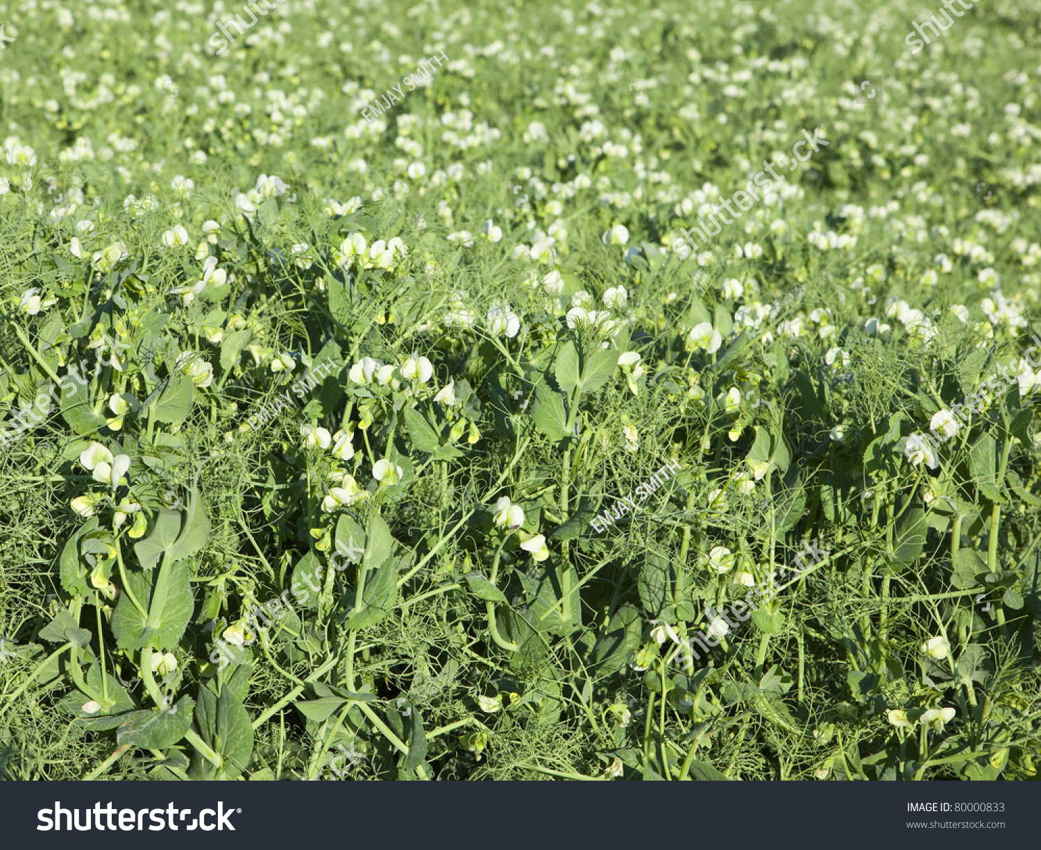 Commercial Pea Crop White Flowers Stock Photo Edit Now 80000833