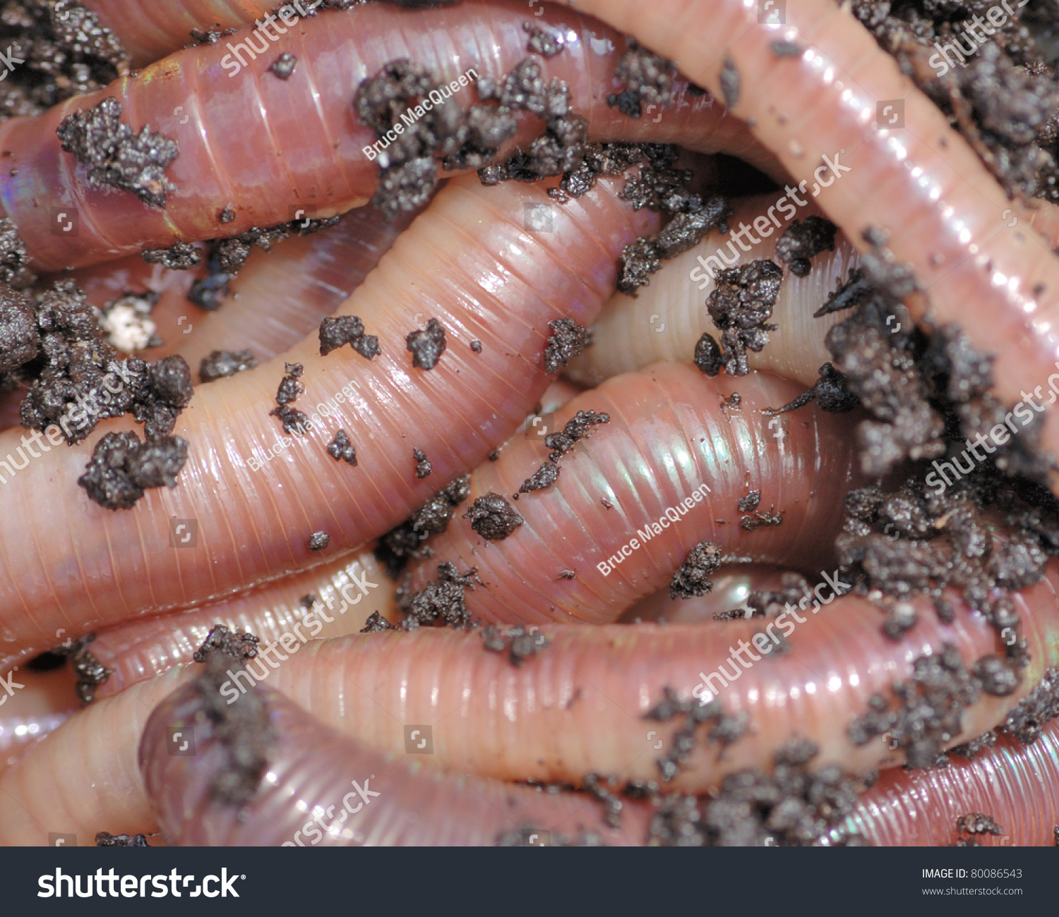 nightcrawler earth worms used fishing bait stock photo 80086543, Fly Fishing Bait