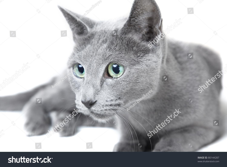 Russian Blue Cat Hunting White Stock Shutterstock