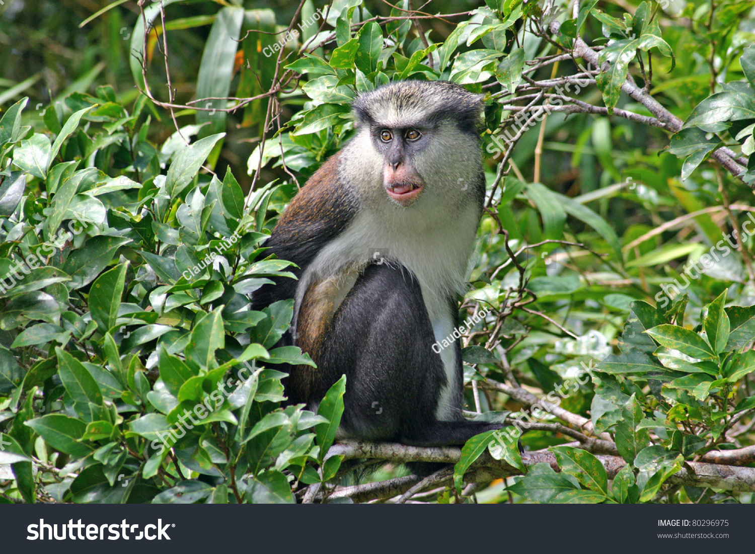 Mona monkey (Cercopithecus mona) on the island of Grenada