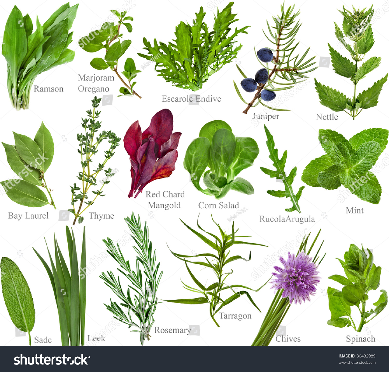 Collection Set Fresh Herb Names Isolated Stock Photo 80432989 ...