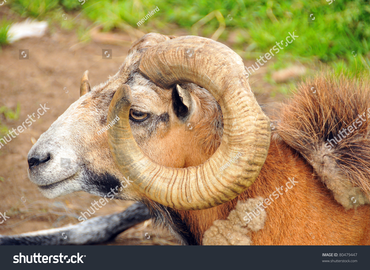 Ram Meanings Symbolic Thoughts About Ram Stock Photo Edit Now