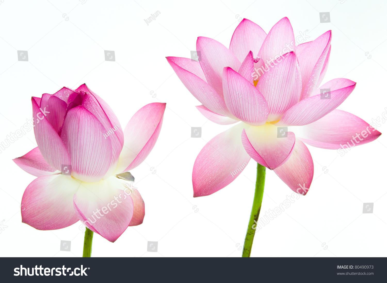Pink lotus flower white background lotus stock photo download now pink lotus flower and white background the lotus flower water lily is national izmirmasajfo