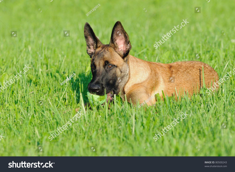 ... on Pinterest | Belgian Shepherd, Belgian Malinois and Belgian