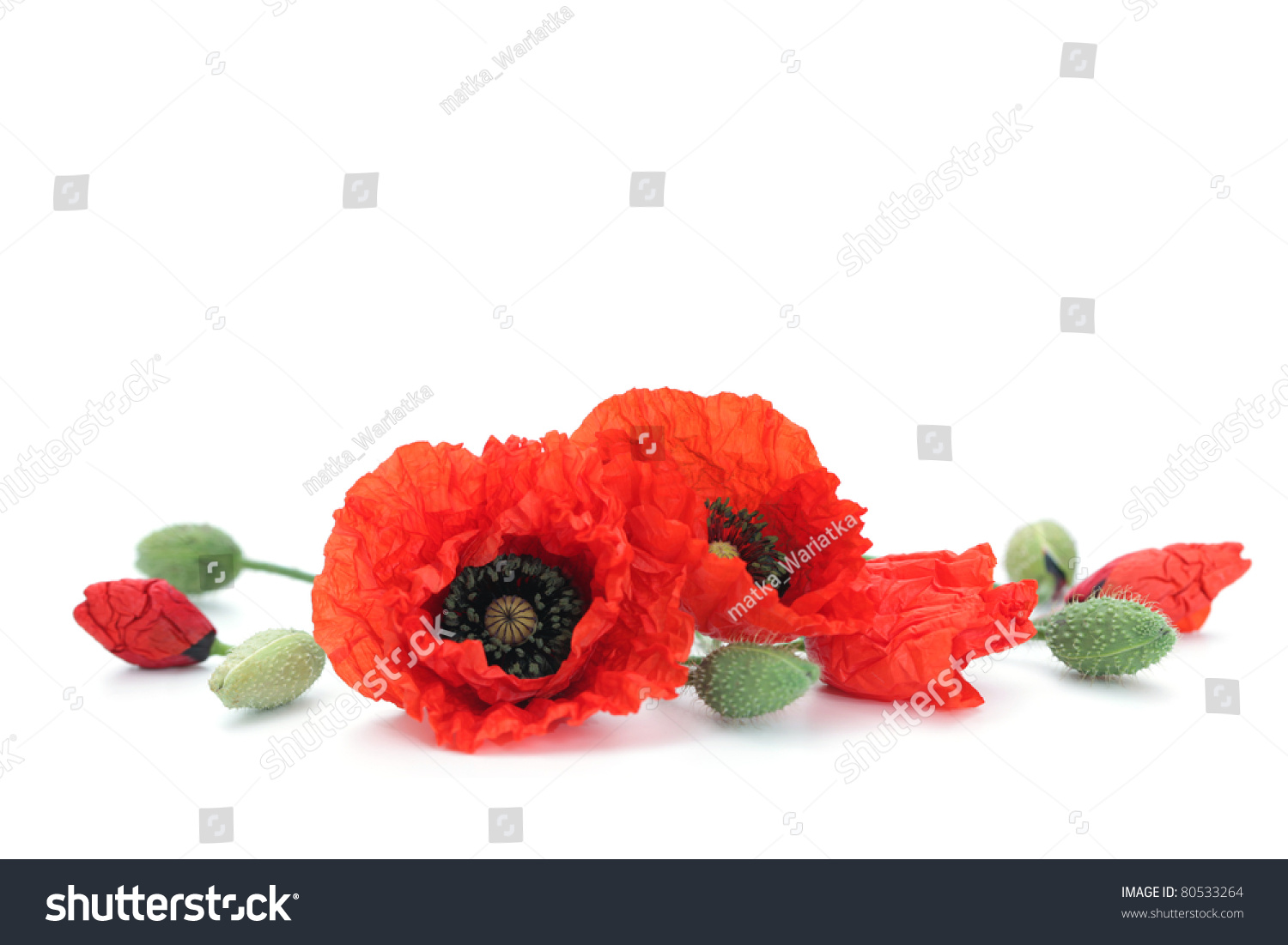 Red Poppies On White Background Flowers Stock Photo Edit Now