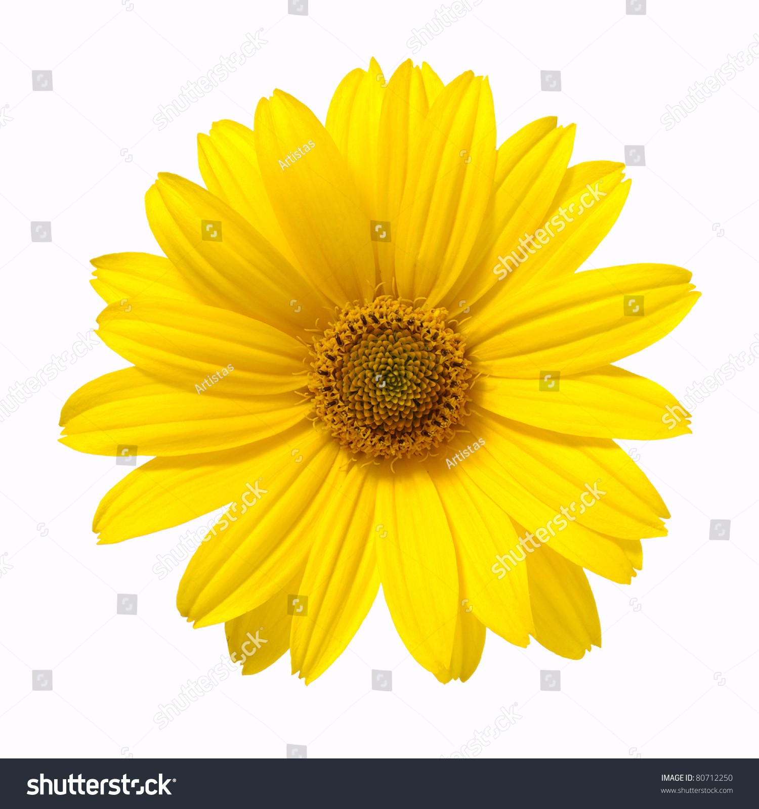 Images Of Yellow Daisy White Background Spacehero
