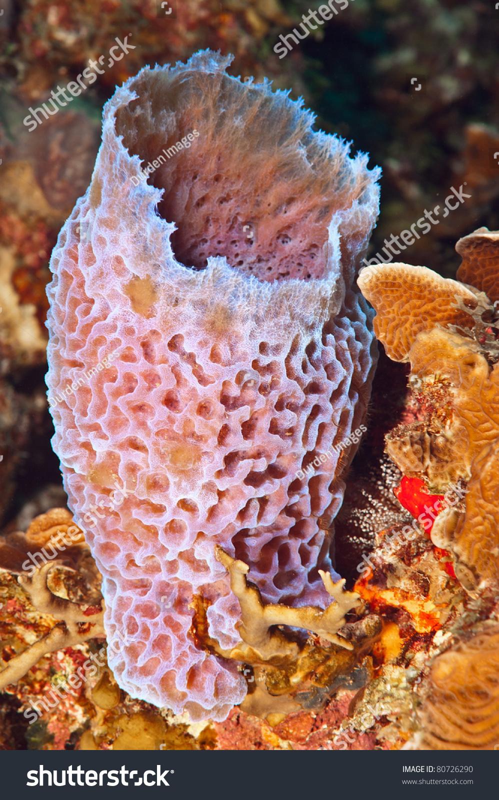 Azure vase sponge callyspongia plicifera pinkpurple stock photo azure vase sponge callyspongia plicifera a pinkpurple vase like sponge that reviewsmspy