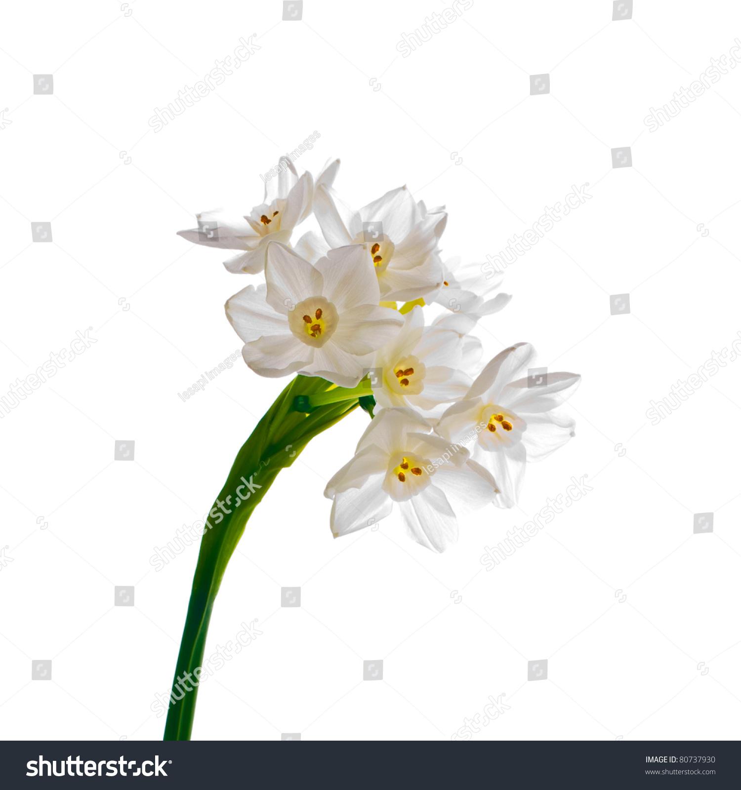 Single Bloom Paperwhite Flower Narcissus Papyraceus Stock Photo