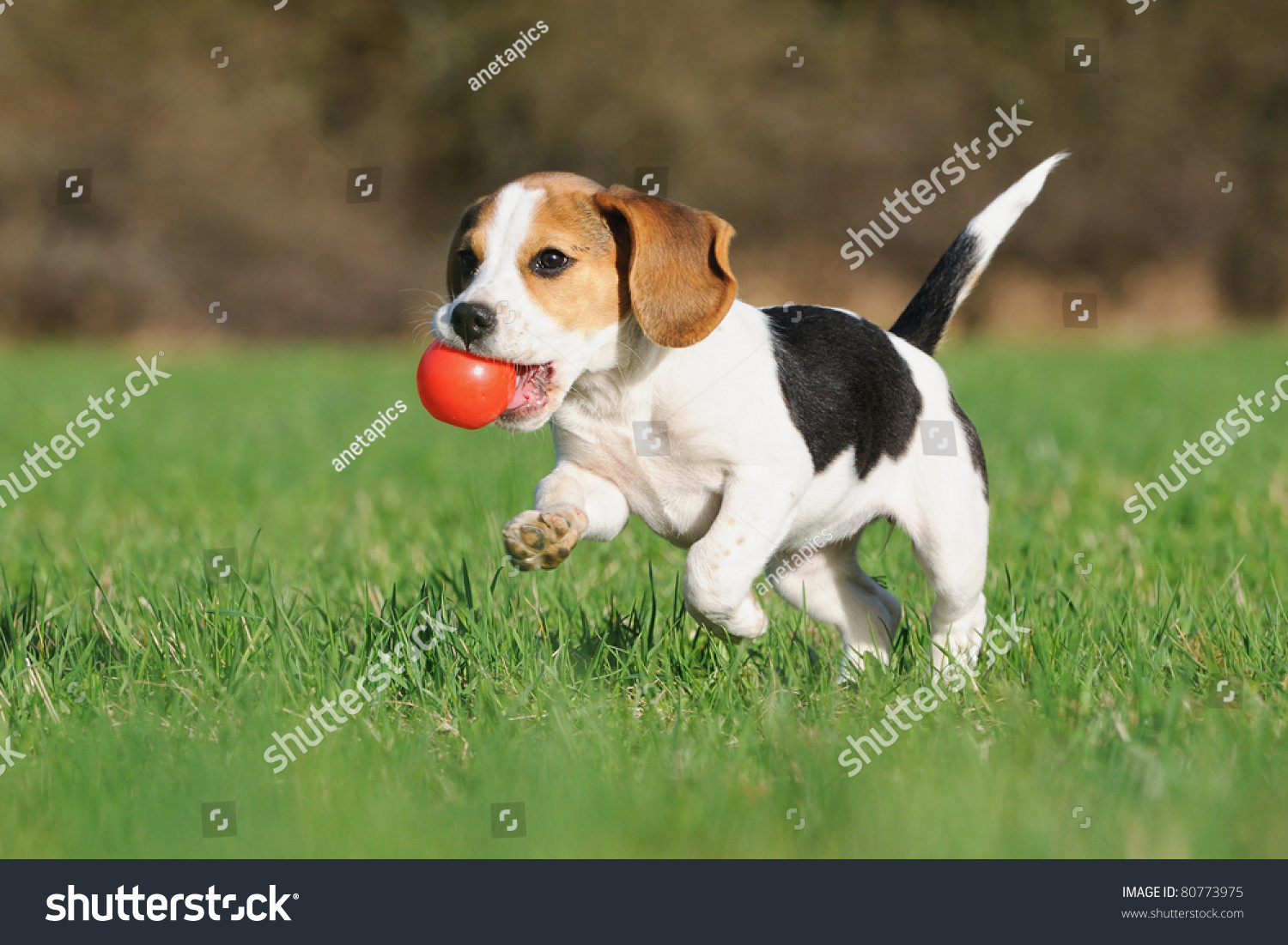 Must see Similar Beagle Adorable Dog - stock-photo-cute-beagle-puppy-months-running-happy-over-the-meadow-with-a-red-ball-80773975  Image_522035  .jpg