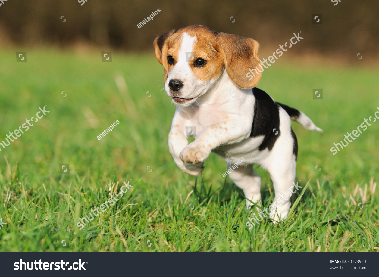 Cute beagle puppy 3 months running stock photo 80773990 shutterstock cute beagle puppy 3 months running happy over the meadow voltagebd Gallery