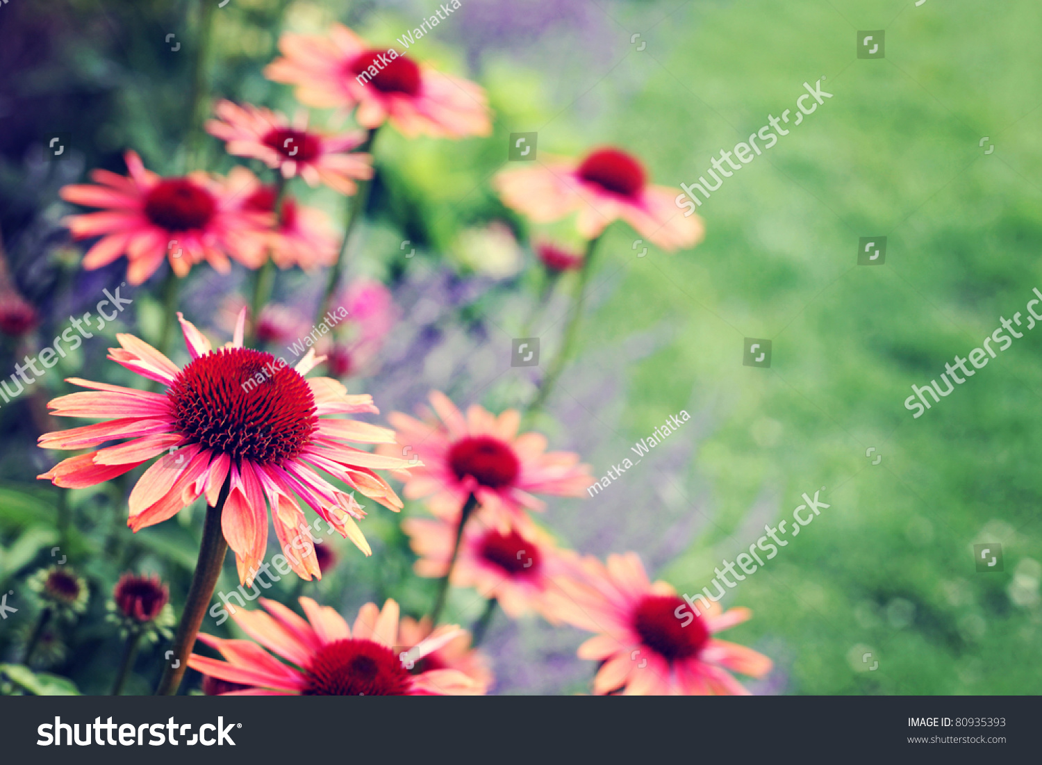 Echinacea Flowers Garden Flowers Plants Stock Photo 80935393