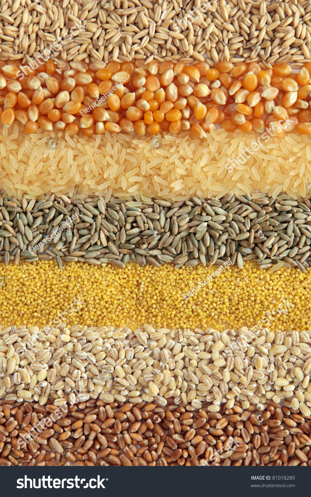 Cereals Wheat Barley Millet Rye Ricemaize Stock Photo ...