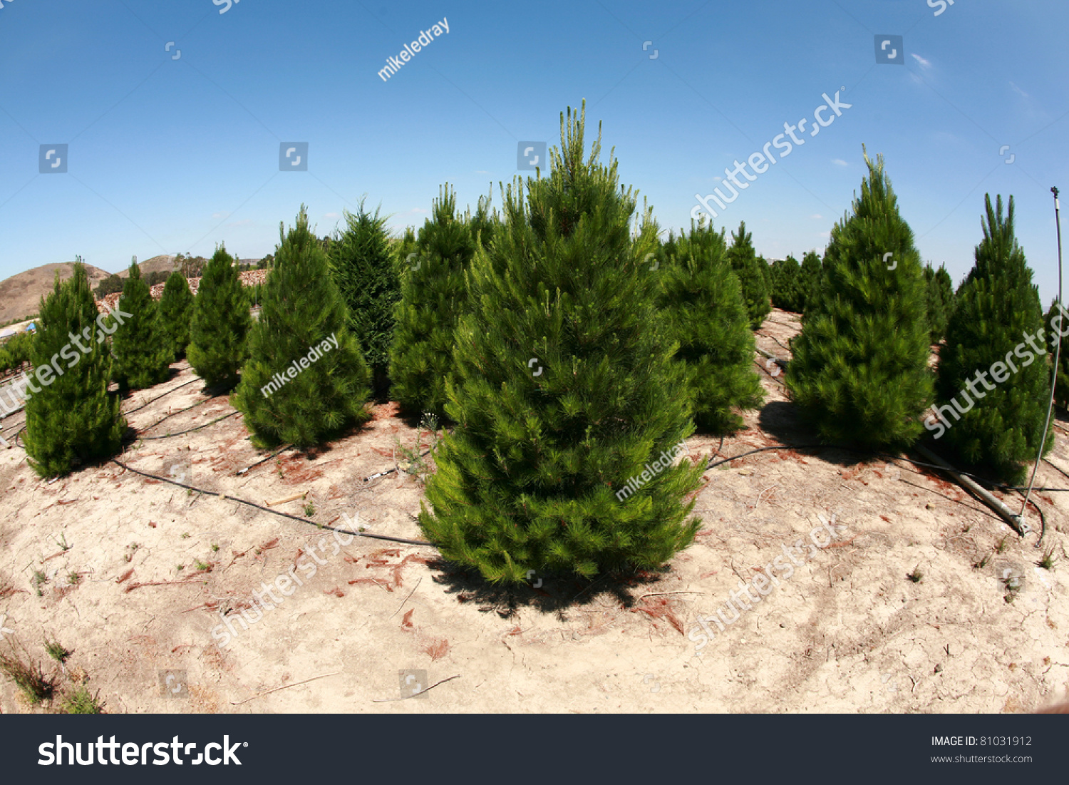 A Christmas Tree Farm In Southern California. Growing