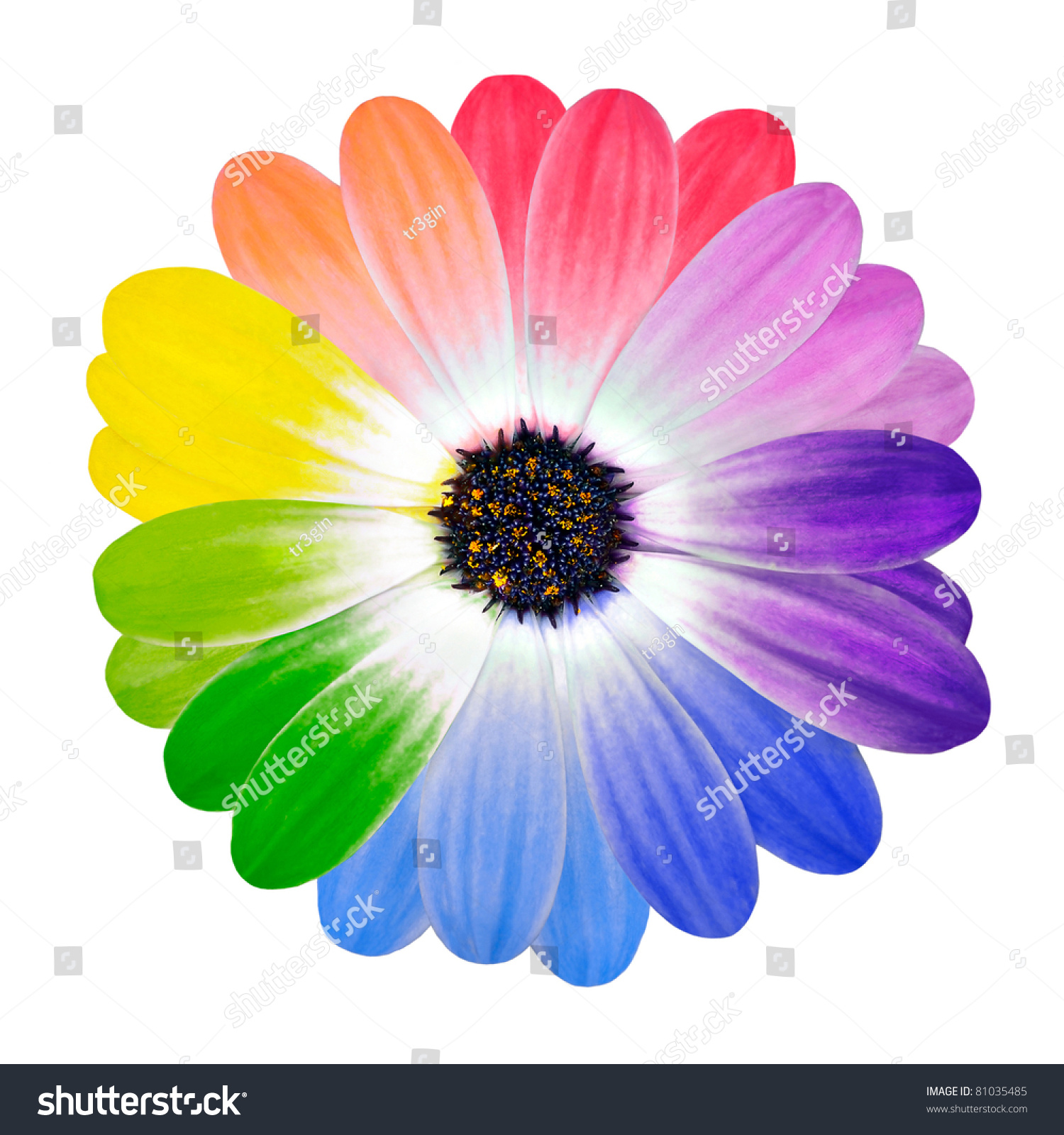 Multi colored flower rainbow daisy flower multi colored for How to make multi colored flowers