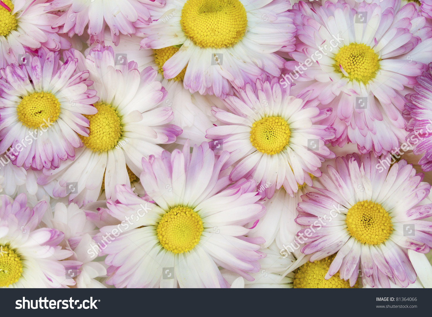Real Spring Pink Daisies Flowers Macro Background Selective Focus