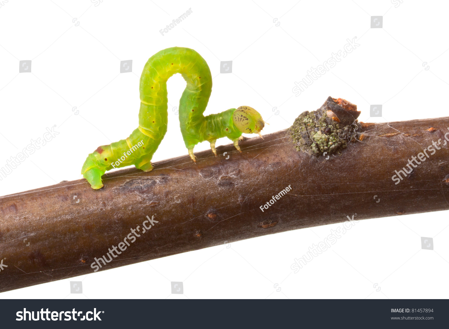 inchworm walking on branch isolated on stock photo 81457894