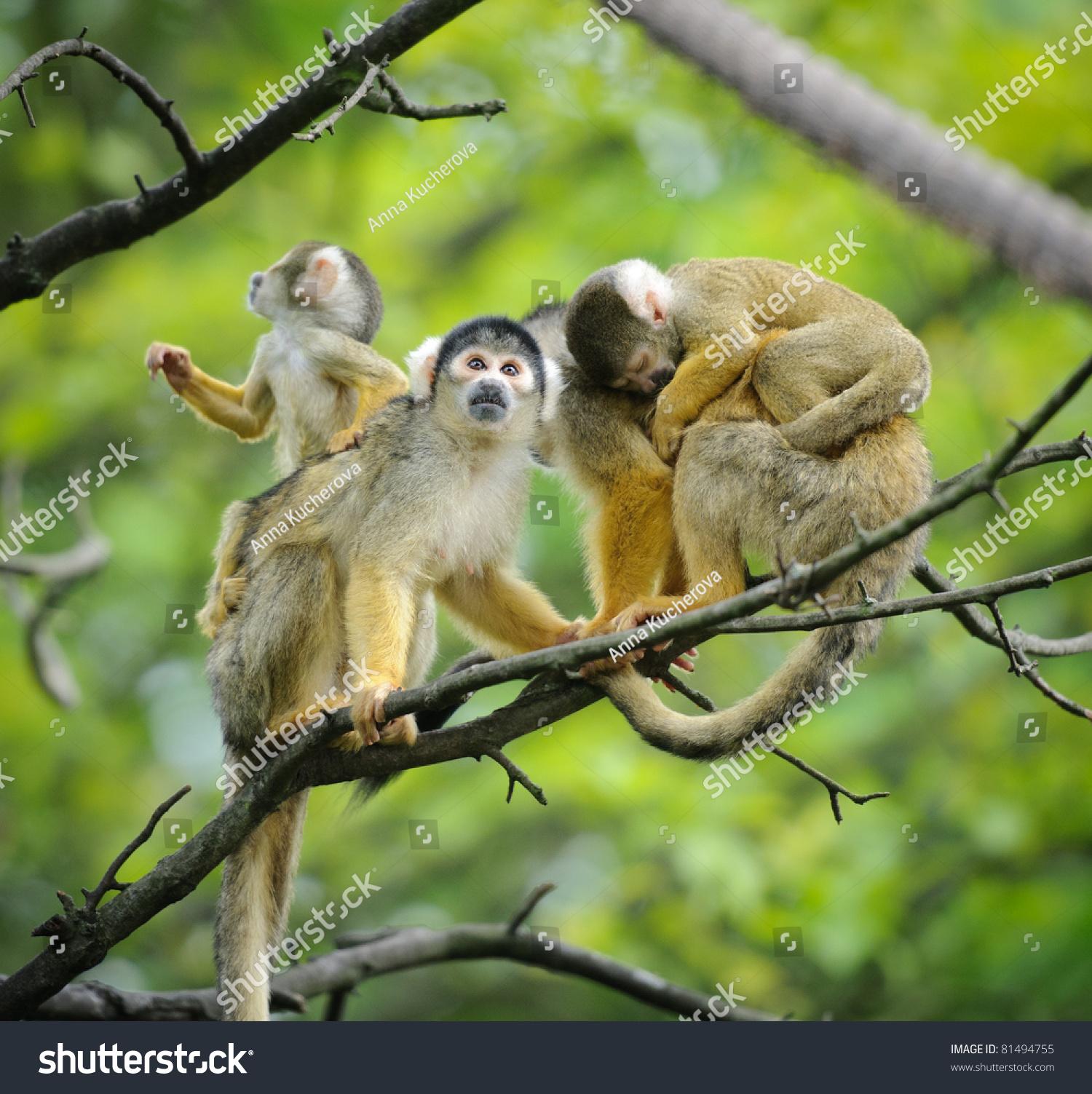 Squirrel monkeys in trees - photo#4
