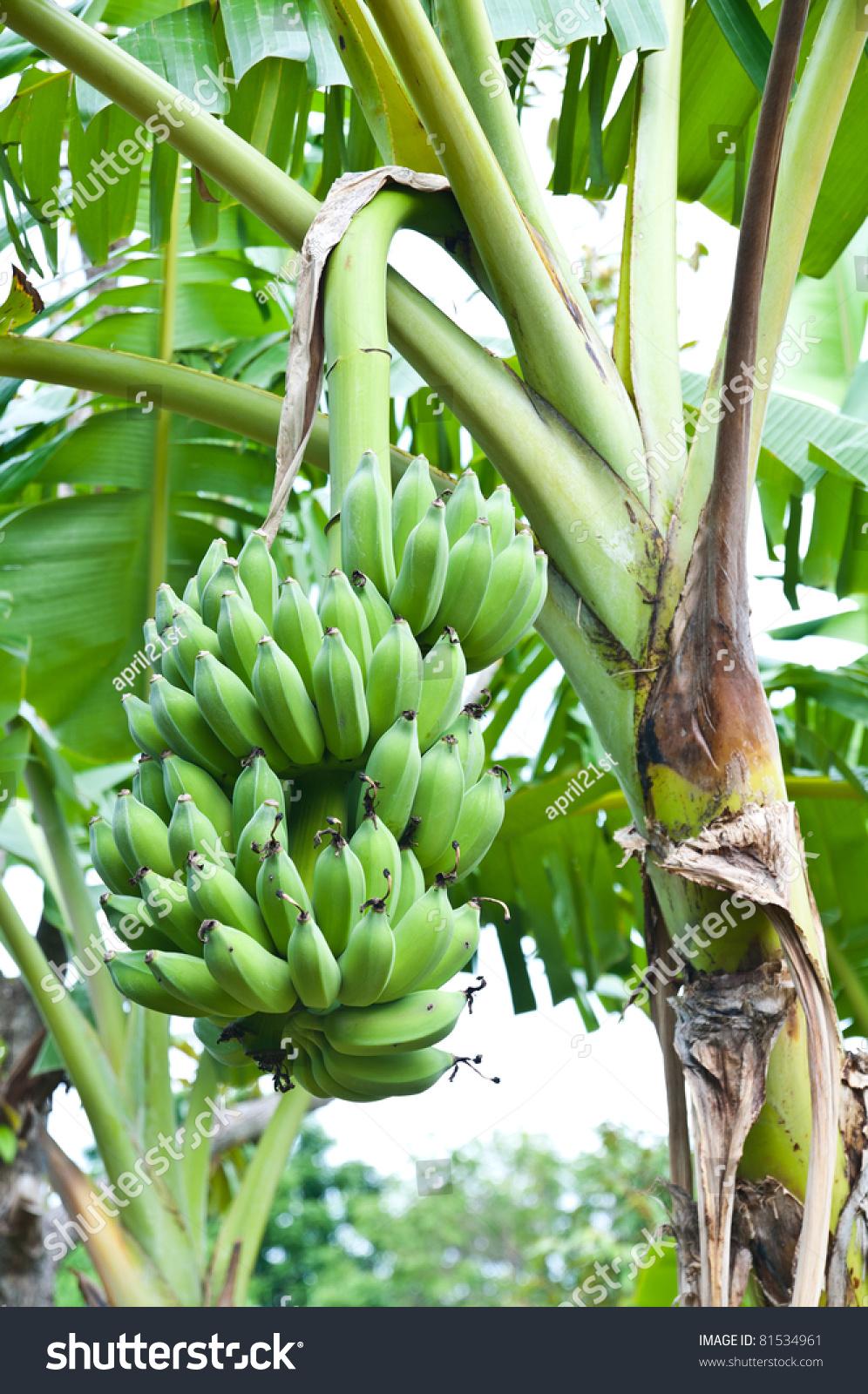 Green Banana Hanging On Brunch Banana Tree Stock Photo ...