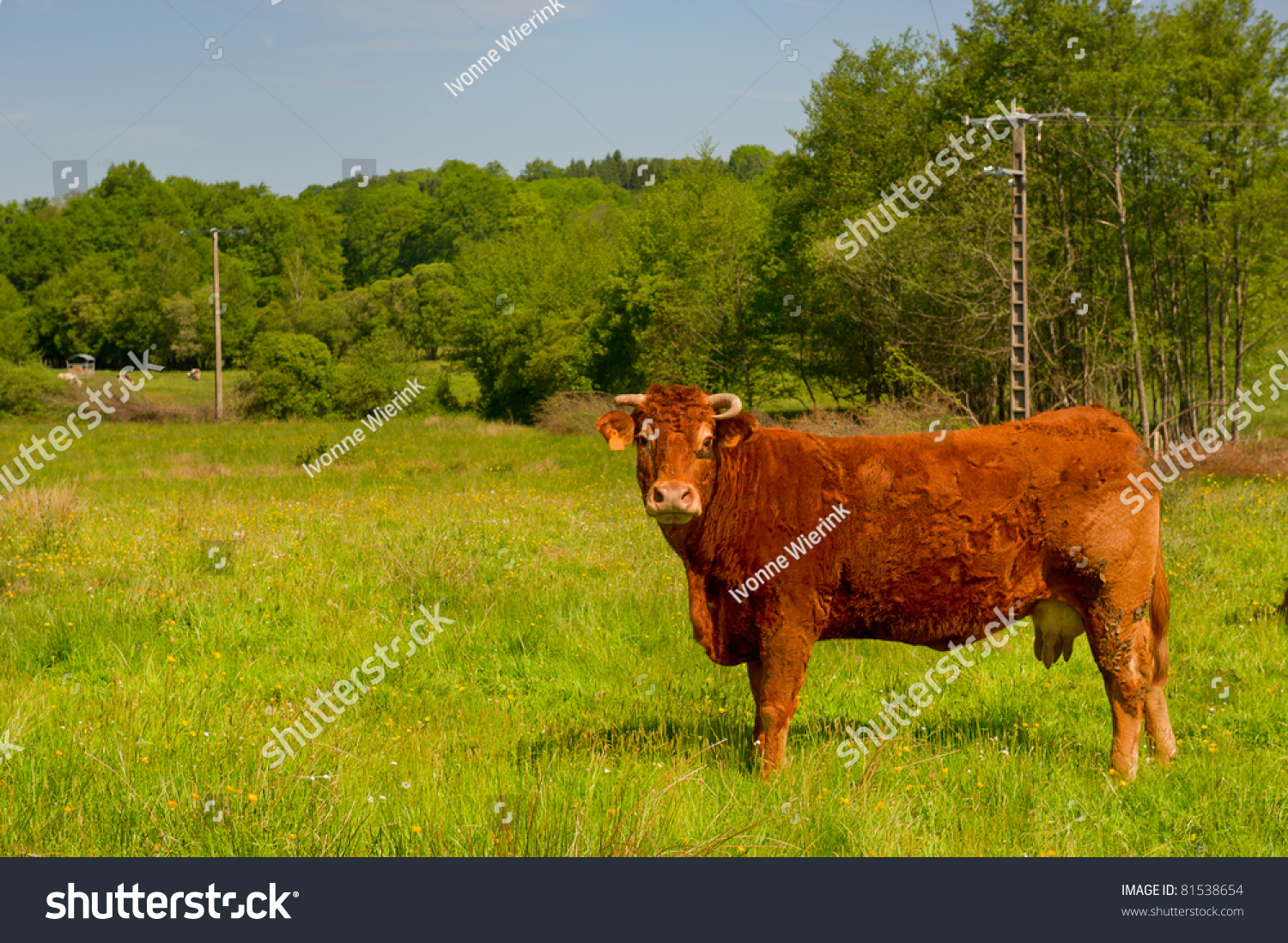 Brown Limousin Cow As Typical Breed In France Stock Photo
